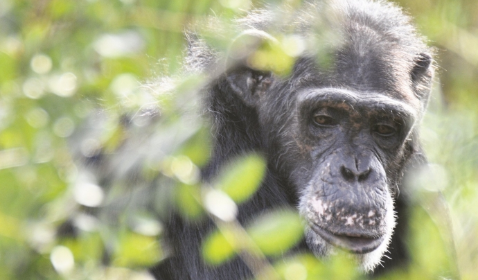 Víctor, ximpanzé rescatat el 2004 per la Fundació MONA. Font: Joan Brull