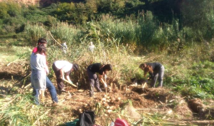 Voluntaris i voluntàries  eliminant exemplars de canya americana a la ribera del riu Ripoll (imatge: adenc.cat)