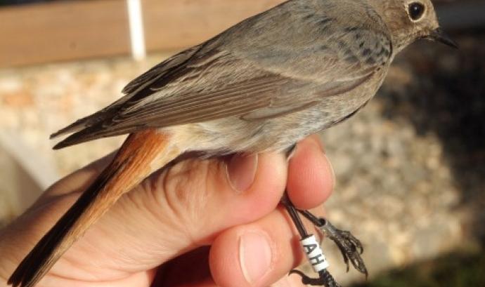 Jornada d'anellament científic d'ocells al riu Ripoll (imatge: adenc.cat)