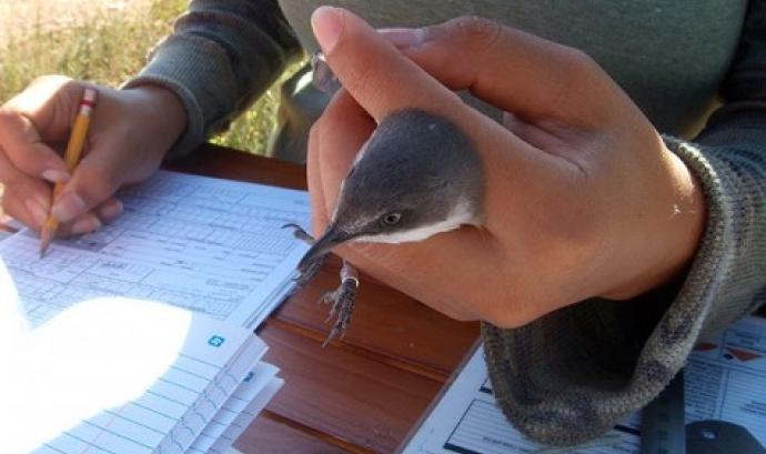 ICO organitza aquesta tardor 3 cursos per anellar ocells