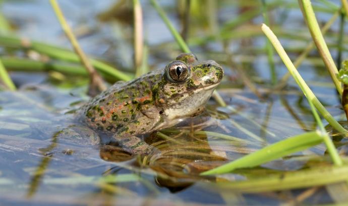 Els amfibis són un dels grups d'animals més vulnerables Font: Frank Vassen a Wikimedia Commons