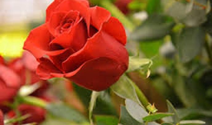 Rosa de Sant Jordi  Font: Mercat de la Flor i la Planta Ornamental de Catalunya