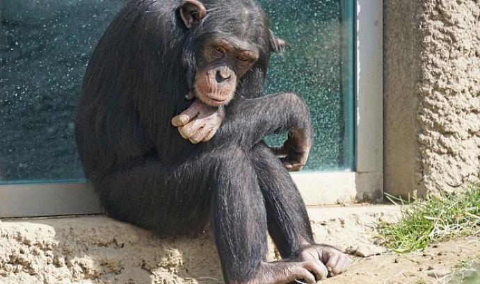 Ximpanzé del Congo Font: