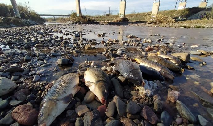 Peixos morts al riu Besòs a causa de l'incendi a una planta de tractament de residus. Font: GRENP