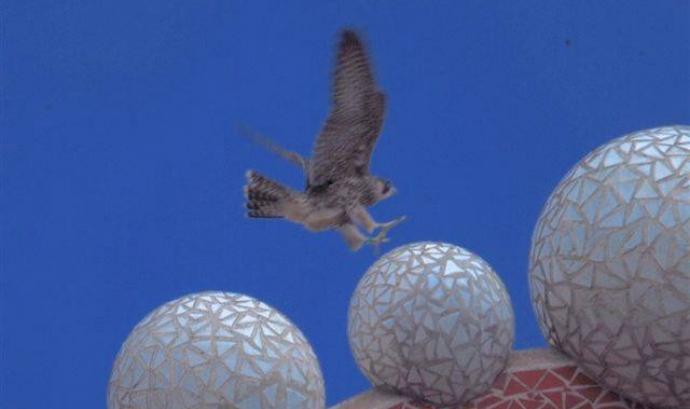 Una cria de falcó aterrant  a la Sagrada Família la primavera passada (imatge:Falcons Urbans) Font: