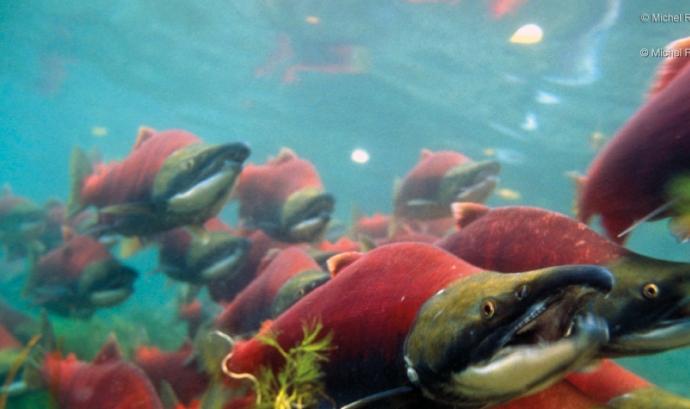 Dia Internacional del peix viatger