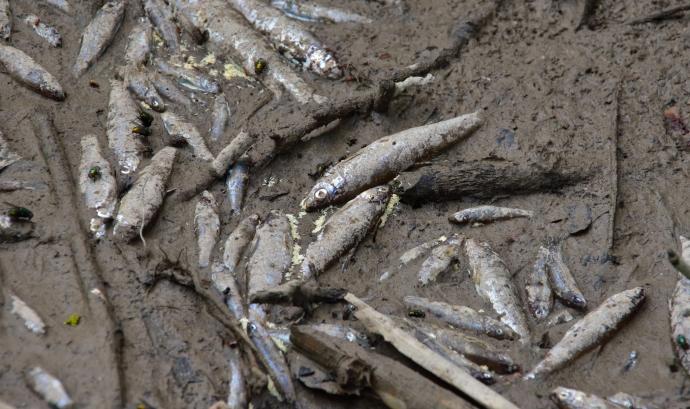 Exemplars morts al riu Foix a l'altura de Vilafranca del Penedès. Font: Bosc Verd - EdC.