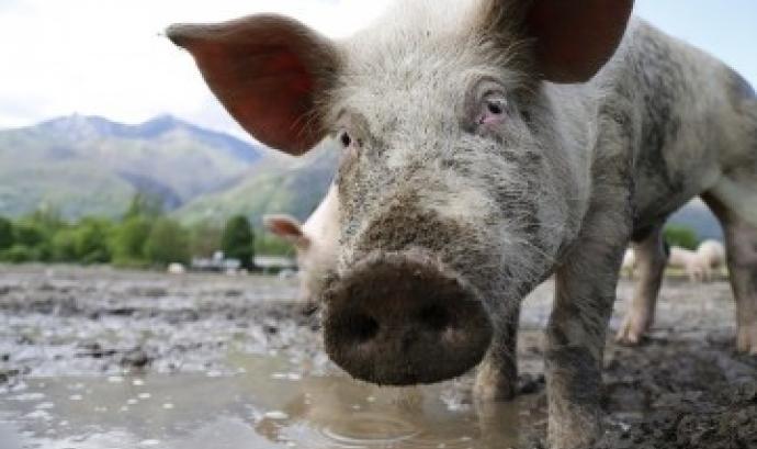 El Síndic de Greuges evidencia la manca de control sobre la contaminació per purins  (imatge: naturalistesgirona.org) Font:
