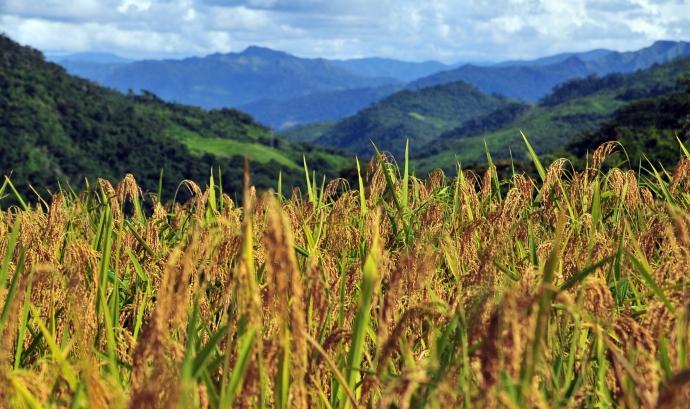 Plantacions d'arròs.